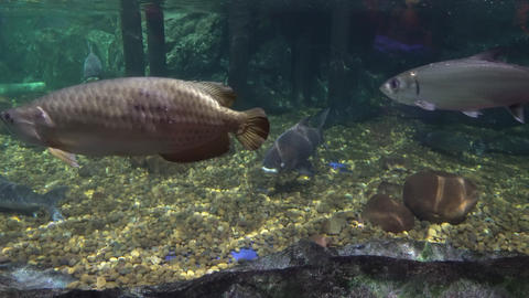 big sea fish in the aquarium. aquarium with marine life.... Stock Video Footage