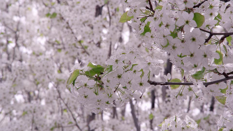 Tight shot of blossoming tree branch, blossoming trees in background Footage