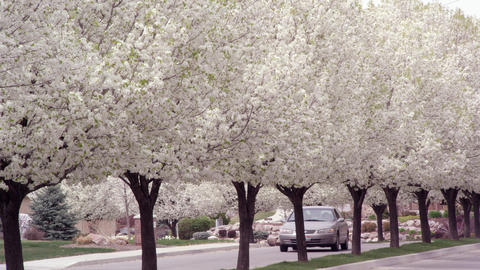 Blossoming trees alongside road as car drives by Footage