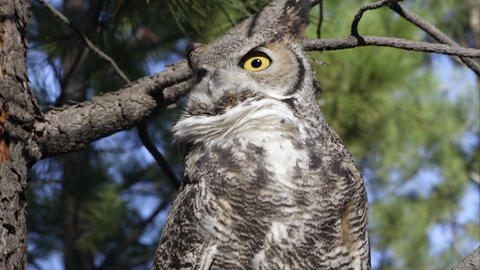 Close shot of great horned owl hooting in a tree Footage