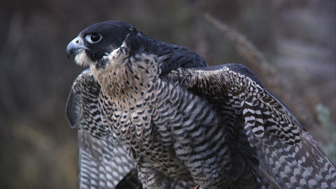 Perched peregrine falcon rustling its feathers Footage