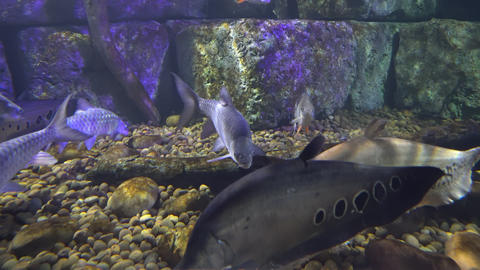Group of fish swims over stony bottom. Big fish close-up GIF
