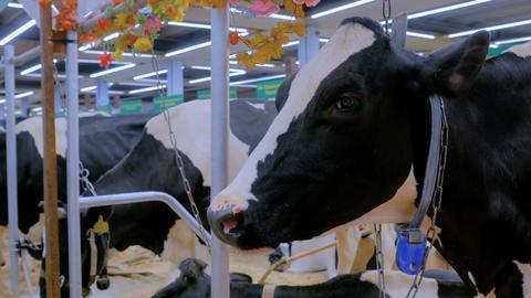 Portrait of sad cow at dairy farm Footage
