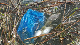 Dead fish and plastic bag in a water. Water pollution Footage