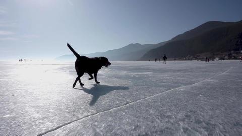 Dog runs across the ice of the Lake. Baikal Footage