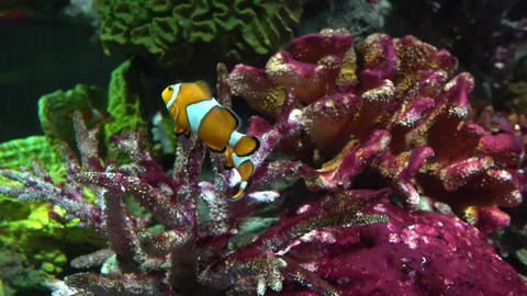 A clown fish swims between corals. Marine life Footage
