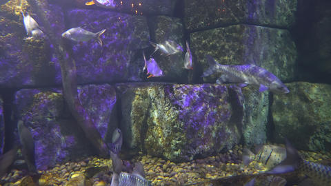 flock of fish swims in the sea water of the aquarium. diversity of marine life Live Action