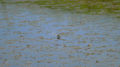 Dragonfly lays eggs Live Action