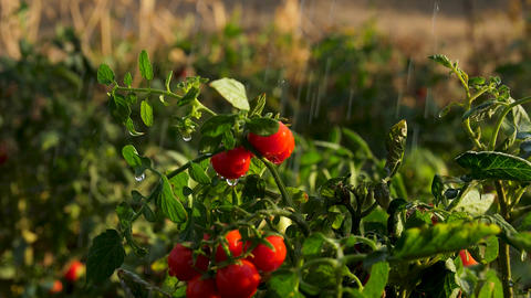 Fresh tomatoes on a bush in the water drops Slow motion Live Action
