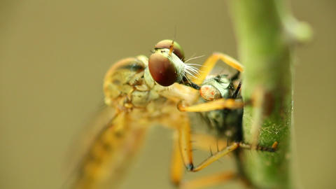 Robber Fly Feeding On A Fly Macro Footage