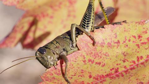Close shot of a grasshopper on a leaf Footage