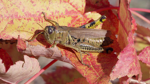 Close shot of a grasshopper on an Autumn leaf Footage