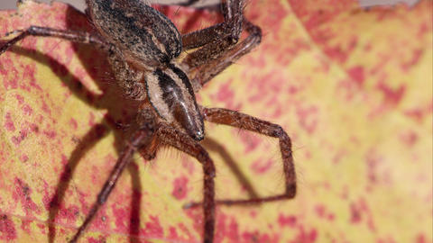 Close up shot of a brown striped spider Footage