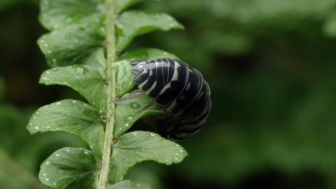 Black and white spotted pill bug crawling the bottom of a leaf Footage