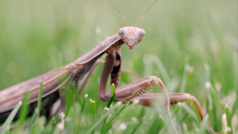 Praying mantis in green grass Footage