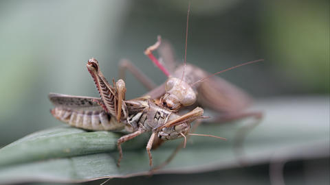 Praying mantis eating a grasshopper Live Action