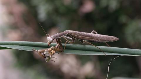 Praying mantis eating a grasshopper on a green leaf Footage