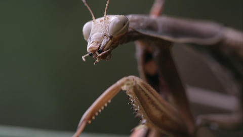 Praying mantis with parts of a grasshopper in its mandibles Footage