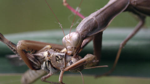 Shot of praying mantis chewing on grasshopper Footage