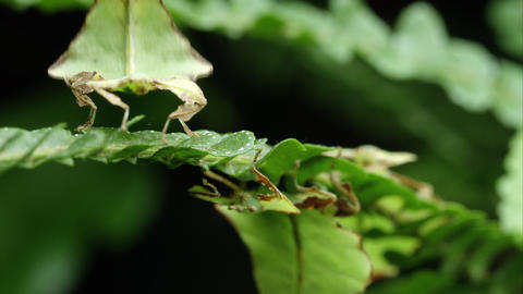 Tight shot of field of three Giant Leaf Insects on leaves Footage