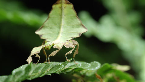 Tight shot of field of a Giant Leaf Insect on a leaf Footage