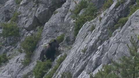 岩場を歩くツキノワグマ ビデオ