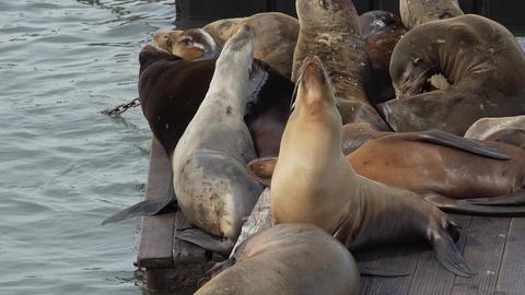 Sea lions doze on the pier Footage