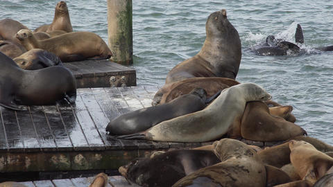 Sea lions enjoy the pier Footage