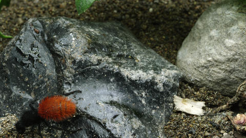 Magnificent Velvet Ant crawling on a rock Footage
