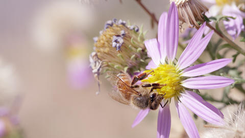 Honey bee on clover flowers Live Action