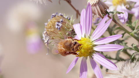 Flying honey bee lands on clover Footage