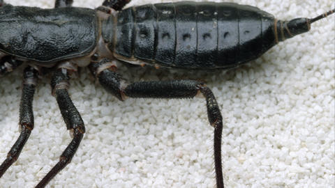 Extreme tight shot of a Giant Vinegaroon crawling on some white sand Footage