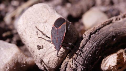 Box elder bug crawls out of frame Footage