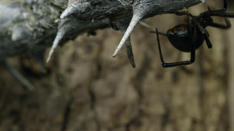 Western Black Widow crawling around on a stick Footage