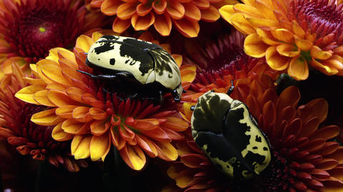Two Harlequin Flower Beetles on some orange flowers Stock Video Footage