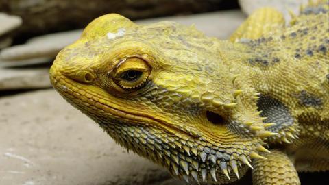 Tight shot of a Yellow Bearded Dragon lizard's head Footage