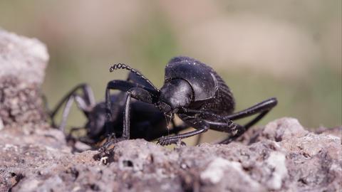 Macro shot of black ground beetles Footage