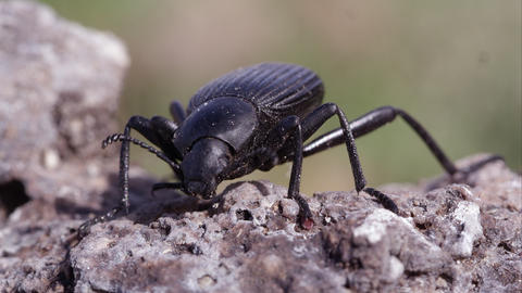 Macro shot of a black ground beetle on dirt Footage