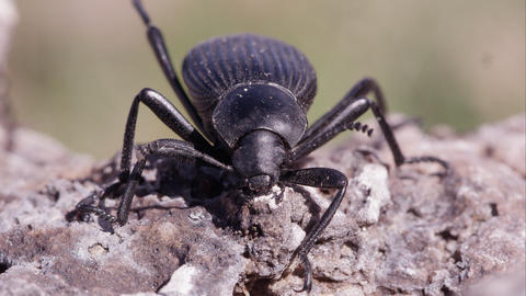 Macro shot of a black ground beetle on the ground Footage