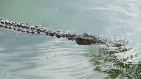 Crocodile is swimming and watching its prey Live Action