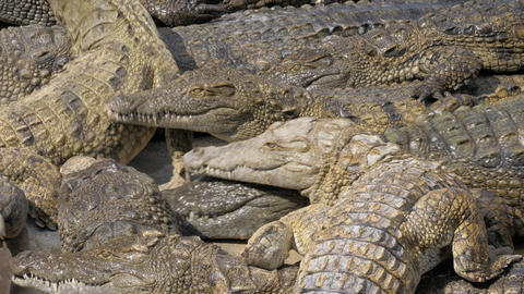 Many hungry crocodiles competing for food Live Action