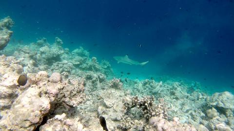 Blacktip Reef Shark Swimming Underwater Near Corals In Sea Lagoon Footage