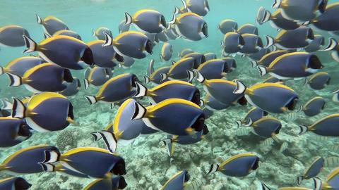 School Of Powder Blue Surgeonfish Swimming Near Sea Coral Reef Footage