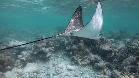 Spotted Eagle Ray Swimming Underwater In Maldives Indian Ocean Waters Live Action