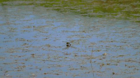 Dragonfly lays eggs GIF