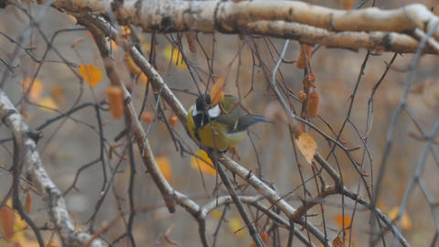 Titmouse on branches of birch Live Action
