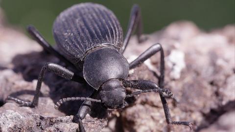 Macro shot of black ground beetle Footage