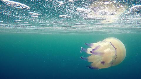 Mediterranean jellyfish swimming under water surface Footage