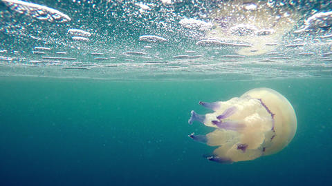 Mediterranean Jellyfish Swimming Under Water Surface stock footage