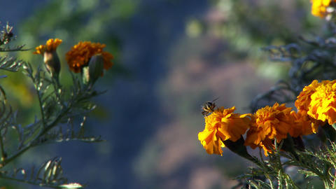Bee on marigold cleaning itself Footage